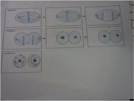 Comments mitosis asexual vs sexual reproduction quiz test review
